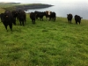 Our Angus and Hedford grazing on our farm by the sea near Ventry
