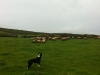 Lambs on our farm in Ventry with our sheepdog Pepsi