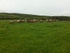 Lambs on our farm in Ventry