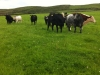 Our beefstock grazing on our upper mountain farm near Ventry