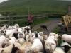 Seamus O'Chobhain - lamb farmer